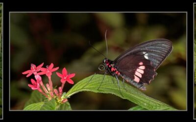 Triptych PDI 3rd – Butterflys_Martin Patten LRPS BPE1