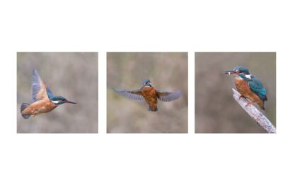 Triptych Print 1st – The Kingfisher_Terri Adcock
