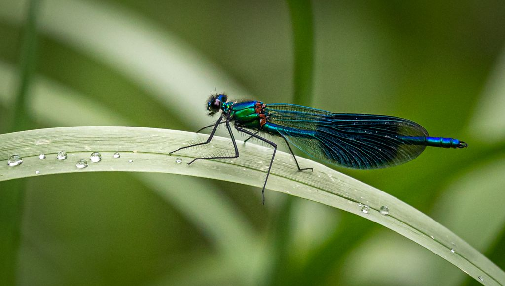 General 1st – Damselfly with Droplets_Sam Blood