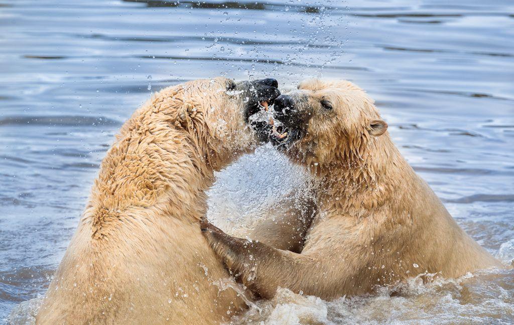 Advanced 1st – Fighting Polar Bears_Martin Patten