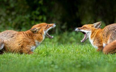 Advanced 3rd – Furious Foxes_Martin Patten