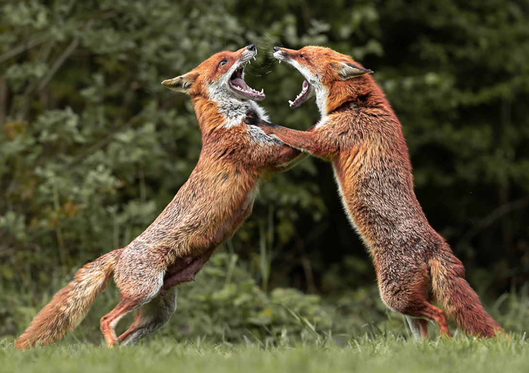 Fox fight by Terri Adcock