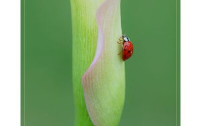 General 1st – Ladybird on Lily_Sam Blood