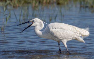 Advanced 1st – Little Egret Tossing Fish_Terri Adcock
