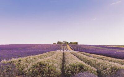 Set Subject 1st – Lavender Field_Caroline Mockett