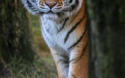 General 2nd – Eye of the Tiger_Caroline Mockett
