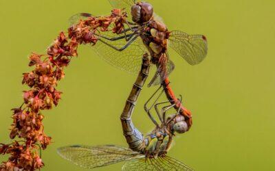 Intermediate 2nd – Mating Dragonflies_Simon Peters